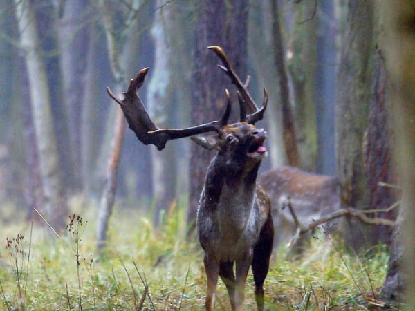 Jagen auf Damschaufler der Medaillienklasse