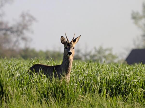 Rehbock im Feld - Jagd mit Verantwortung